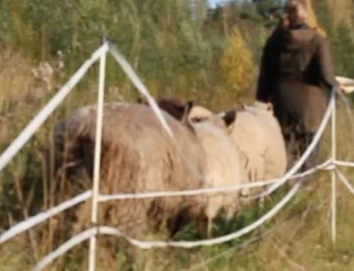 Lammasystäviä 3 – Sylissänsä paimen kantaa