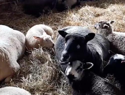 Lammasystäviä 4 – Kun Jeesus paimenäänellään