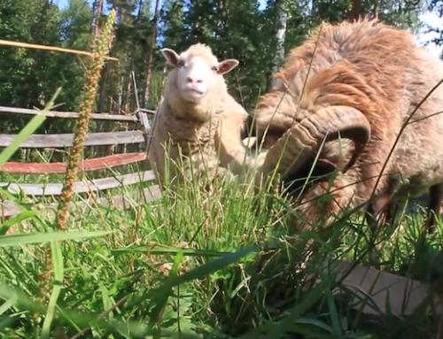 Lammasystäviä 5 – Kesälaitumella